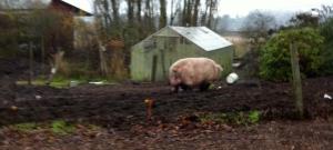 One massive pig.