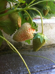 Another strawberry on its way to delicious!