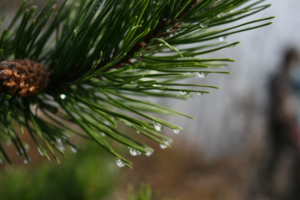 Frozen water droplets on pine needles